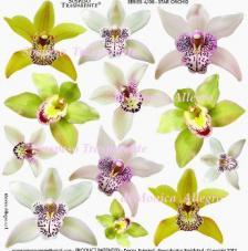 Sospeso transparente predesigned  Star Orchid 23x23 cm