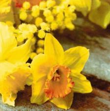 20 servilletas. Narcisos amarillos