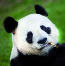 Servilleta Oso Panda